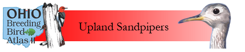 Upland Sandpipers