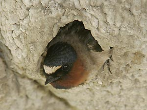 Cliff Swallow by Brian L. Zwiebel
